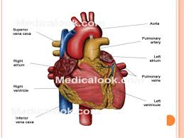 Anatomy And Physiology Of Lungs Anatomy And Physiology Of Heart Lung