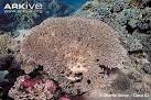 Image result for Acropora pharaonis