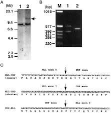 sn 1 a novel leukemic cell line with t 11 16 q23 p13 myeloid