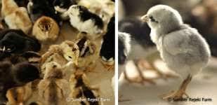bisnis kandang ayam bangkok
