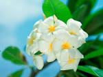 Wallpapers Backgrounds - flowers white wallpapers leaves close