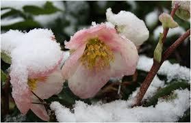 elleboro antico inverno