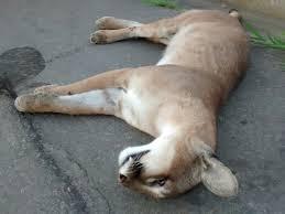 Onça parda é encontrada morta em rodovia de Cariacica ( ES ...