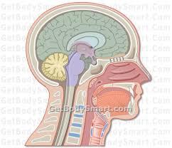Sheep Brain Anatomy Game Website For Just Anatomy Learn Anatomy Learn Part 5
