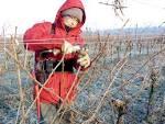 La taille de la vigne : une opération longue qui détermine la ...