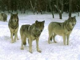 капкан на волка