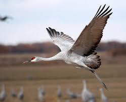 see the sandhill crane migration march 2 april 7 audubon