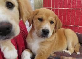 australian shepherd x pomeranian for sale adopt a dog
