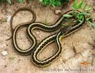 Image result for Thamnophis sirtalis