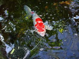 backyard koi pond maintenance for fall u2013 red earth naturals