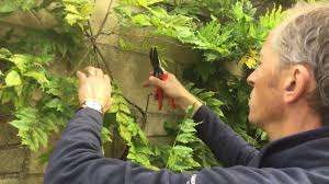 simple guide to pruning a climbing wisteria plant youtube