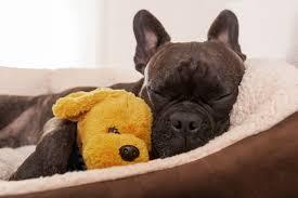 belgian shepherd stuffed animal can a dog catch a cold or the flu hill u0027s pet