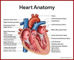 Anatomy And Physiology Of Lungs Cardiovascular System Anatomy And Physiology Study Guide For Nurses