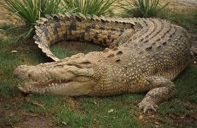 крокодилите опасни за човека