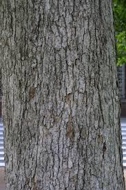White Oak Bark State Nurseries And Tree Seedlings Seedling Descriptions And