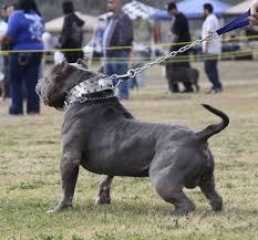 american pitbull terrier for sale in dallas texas xxl blue pitbulls biggest pitbull puppies kennel