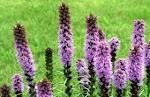 Image result for Liatris spicata