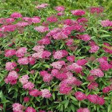 Spiraea japonica Anthony Waterer - 1 shrub - FD16440WH