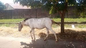 Égua é vítima de maus-tratos e precisa de ajuda no Clube São ...
