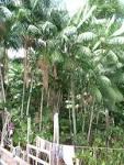 Açaí palm - Wikipedia, the free encyclopedia