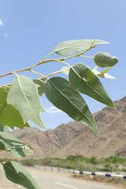 Populus euphratica