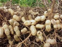 image of freshly-harvested peanuts