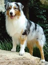 3 australian shepherd mix puppies for adoption about aussiedoodles u2013 aussiedoodle puppies for sale aussiedoodle