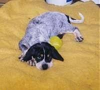 training a bluetick coonhound to hunt bluetick coonhound dog breed information and pictures