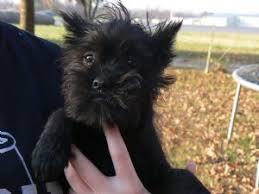 affenpinscher brown affenpinscher puppies for sale