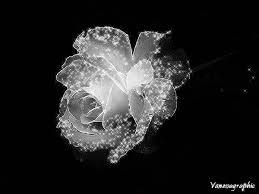 Pershendetje me nje lule per nje anëtarë? - Faqe 7 Images?q=tbn:ANd9GcRLc_3Gwszb2yleYhb54CsRE7o3DnBH8OW9-2r_JktjFSMk7Sex