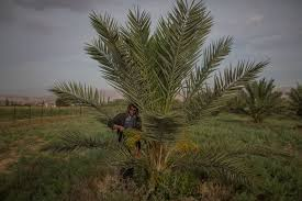 A Palestinian worker in a date grove that is watered by a pump  powered by solar panels  in the West Bank town of Auja  The solar project was financed by     The New York Times