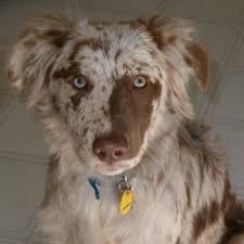 3 australian shepherd mix puppies for adoption the aussiedor u2013 australian shepherd labrador puppies aussiedoodle