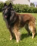 belgian sheepdog crossword clue dog breeds starting with b