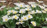 Image result for Sanguinaria canadensis