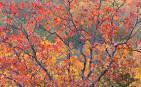 Image result for Quercus stellata
