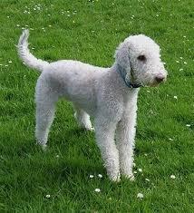 http://search.aol.com/aol/imageDetails?s_it=imageDetails&q=bedlington+terrier&img=http://www.dogbreedinfo.com/images20/BEDLINGTONGLEN8Months1.JPG&v_t=keyword_rollover&host=http://www.dogbreedinfo.com/bedlingtonterrierphotos5.htm&width=133&height=146&thumbUrl=http://t1.gstatic.com/images?q=tbn:ANd9GcRDgcMABlvldupYFRHlt08L0d3bd_TN-e4_-iumMJ9_egOOnri99hEjWxNn5A:www.dogbreedinfo.com/images20/BEDLINGTONGLEN8Months1.JPG&b=image?page=3&v_t=keyword_rollover&q=bedlington+terrier&s_it=imageResultsBack&oreq=d665147c69d940e7afdce9e43b2c6f1d&oreq=926707ec1e604a2185785abe3242a346&imgHeight=385&imgWidth=350&imgTitle=Bedlington+Terrier+puppy&imgSize=58591&hostName=www.dogbreedinfo.com