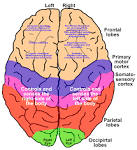 the <b>cerebral cortex</b> from