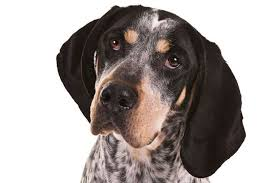 bluetick coonhound puppies for sale in ohio bluetick coonhound dog breed information american kennel club