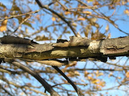 White Oak Bark Native Trees Of Indiana River Walk