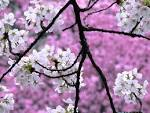 Spring Cherry Aquarium Blossom others Desktop Wallpapers HD Quality