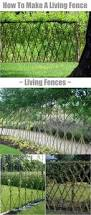 best 25 living fence ideas on pinterest hedge fence ideas