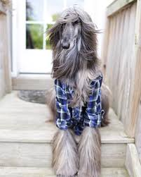 afghan hound long haired dogs jolie afghan hounds home facebook
