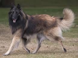 belgian sheepdog breeders in texas mawrmyth belgians groenendael breeder in houston texas