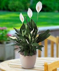 Best Office Desk Plants Best Desk Plants No Light Hostgarcia