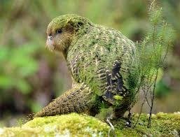 Image result for codfish island kakapo