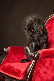 buy a affenpinscher best 20 brussels griffon puppies ideas on pinterest griffon