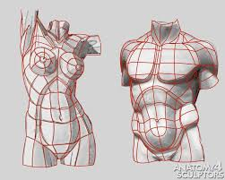 Structure Of Human Anatomy Structure Of Human Anatomy Proportions Poses Elements Of The