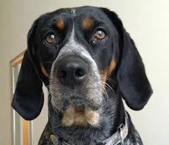 training a bluetick coonhound to hunt bluetick coonhound hardy hunting hound