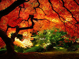 Maple Tree Symbolism by 1600x1200 Maple In Autumn Desktop Pc And Mac Wallpaper