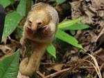 Image result for Cyclopes didactylus